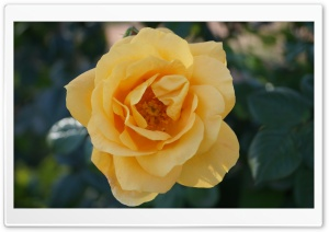 Yellow Rose HD Wide Wallpaper for 4K UHD Widescreen desktop & smartphone