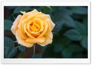 Yellow Rose Ultra HD Wallpaper for 4K UHD Widescreen desktop, tablet & smartphone