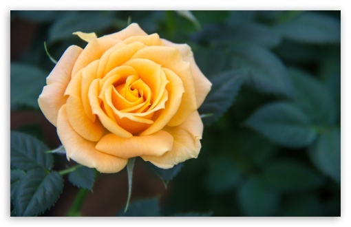 Yellow Rose ❤ 4K UHD Wallpaper for Wide 16:10 5:3 Widescreen WHXGA WQXGA WUXGA WXGA WGA ; 4K UHD 16:9 Ultra High Definition 2160p 1440p 1080p 900p 720p ; UHD 16:9 2160p 1440p 1080p 900p 720p ; Standard 4:3 5:4 3:2 Fullscreen UXGA XGA SVGA QSXGA SXGA DVGA HVGA HQVGA ( Apple PowerBook G4 iPhone 4 3G 3GS iPod Touch ) ; Smartphone 5:3 WGA ; Tablet 1:1 ; iPad 1/2/Mini ; Mobile 4:3 5:3 3:2 16:9 5:4 - UXGA XGA SVGA WGA DVGA HVGA HQVGA ( Apple PowerBook G4 iPhone 4 3G 3GS iPod Touch ) 2160p 1440p 1080p 900p 720p QSXGA SXGA ; Dual 16:10 5:3 16:9 4:3 5:4 WHXGA WQXGA WUXGA WXGA WGA 2160p 1440p 1080p 900p 720p UXGA XGA SVGA QSXGA SXGA ;