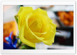 Yellow Rose HD Wide Wallpaper for Widescreen