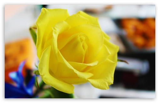 Yellow Rose HD wallpaper for Wide 16:10 5:3 Widescreen WHXGA WQXGA WUXGA WXGA WGA ; HD 16:9 High Definition WQHD QWXGA 1080p 900p 720p QHD nHD ; UHD 16:9 WQHD QWXGA 1080p 900p 720p QHD nHD ; Standard 4:3 5:4 3:2 Fullscreen UXGA XGA SVGA QSXGA SXGA DVGA HVGA HQVGA devices ( Apple PowerBook G4 iPhone 4 3G 3GS iPod Touch ) ; Tablet 1:1 ; iPad 1/2/Mini ; Mobile 4:3 5:3 3:2 16:9 5:4 - UXGA XGA SVGA WGA DVGA HVGA HQVGA devices ( Apple PowerBook G4 iPhone 4 3G 3GS iPod Touch ) WQHD QWXGA 1080p 900p 720p QHD nHD QSXGA SXGA ;