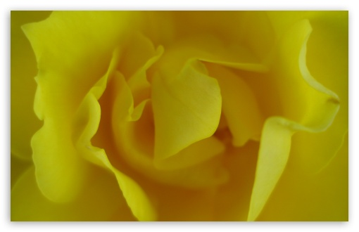 Yellow Rose ❤ 4K UHD Wallpaper for Wide 16:10 5:3 Widescreen WHXGA WQXGA WUXGA WXGA WGA ; 4K UHD 16:9 Ultra High Definition 2160p 1440p 1080p 900p 720p ; Standard 4:3 5:4 3:2 Fullscreen UXGA XGA SVGA QSXGA SXGA DVGA HVGA HQVGA ( Apple PowerBook G4 iPhone 4 3G 3GS iPod Touch ) ; Smartphone 5:3 WGA ; Tablet 1:1 ; iPad 1/2/Mini ; Mobile 4:3 5:3 3:2 16:9 5:4 - UXGA XGA SVGA WGA DVGA HVGA HQVGA ( Apple PowerBook G4 iPhone 4 3G 3GS iPod Touch ) 2160p 1440p 1080p 900p 720p QSXGA SXGA ;