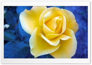 Yellow Rose Against A Blue Background HD Wide Wallpaper for 4K UHD Widescreen desktop & smartphone