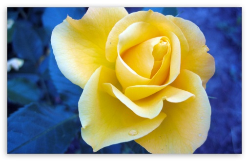 Yellow Rose Against A Blue Background HD wallpaper for Wide 16:10 5:3 Widescreen WHXGA WQXGA WUXGA WXGA WGA ; HD 16:9 High Definition WQHD QWXGA 1080p 900p 720p QHD nHD ; Standard 4:3 5:4 3:2 Fullscreen UXGA XGA SVGA QSXGA SXGA DVGA HVGA HQVGA devices ( Apple PowerBook G4 iPhone 4 3G 3GS iPod Touch ) ; Tablet 1:1 ; iPad 1/2/Mini ; Mobile 4:3 5:3 3:2 16:9 5:4 - UXGA XGA SVGA WGA DVGA HVGA HQVGA devices ( Apple PowerBook G4 iPhone 4 3G 3GS iPod Touch ) WQHD QWXGA 1080p 900p 720p QHD nHD QSXGA SXGA ;