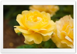 Yellow Rose Close Up HD Wide Wallpaper for Widescreen
