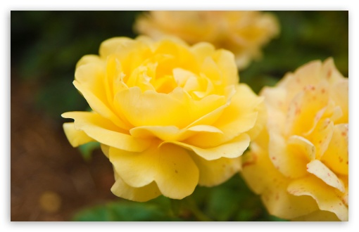 Yellow Rose Close Up ❤ 4K UHD Wallpaper for Wide 16:10 5:3 Widescreen WHXGA WQXGA WUXGA WXGA WGA ; 4K UHD 16:9 Ultra High Definition 2160p 1440p 1080p 900p 720p ; Standard 4:3 5:4 3:2 Fullscreen UXGA XGA SVGA QSXGA SXGA DVGA HVGA HQVGA ( Apple PowerBook G4 iPhone 4 3G 3GS iPod Touch ) ; Tablet 1:1 ; iPad 1/2/Mini ; Mobile 4:3 5:3 3:2 16:9 5:4 - UXGA XGA SVGA WGA DVGA HVGA HQVGA ( Apple PowerBook G4 iPhone 4 3G 3GS iPod Touch ) 2160p 1440p 1080p 900p 720p QSXGA SXGA ;