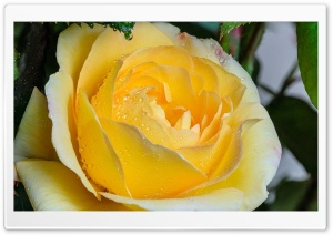 Yellow Rose Flower Ultra HD Wallpaper for 4K UHD Widescreen desktop, tablet & smartphone