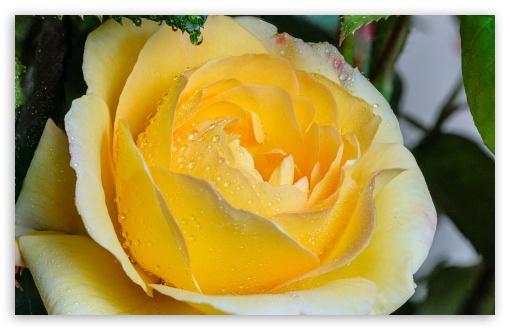 Yellow Rose Flower UltraHD Wallpaper for Wide 16:10 5:3 Widescreen WHXGA WQXGA WUXGA WXGA WGA ; UltraWide 21:9 24:10 ; 8K UHD TV 16:9 Ultra High Definition 2160p 1440p 1080p 900p 720p ; UHD 16:9 2160p 1440p 1080p 900p 720p ; Standard 4:3 5:4 3:2 Fullscreen UXGA XGA SVGA QSXGA SXGA DVGA HVGA HQVGA ( Apple PowerBook G4 iPhone 4 3G 3GS iPod Touch ) ; Smartphone 16:9 3:2 5:3 2160p 1440p 1080p 900p 720p DVGA HVGA HQVGA ( Apple PowerBook G4 iPhone 4 3G 3GS iPod Touch ) WGA ; Tablet 1:1 ; iPad 1/2/Mini ; Mobile 4:3 5:3 3:2 16:9 5:4 - UXGA XGA SVGA WGA DVGA HVGA HQVGA ( Apple PowerBook G4 iPhone 4 3G 3GS iPod Touch ) 2160p 1440p 1080p 900p 720p QSXGA SXGA ;