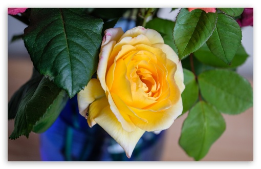 Yellow Rose Flower in a Vase UltraHD Wallpaper for Wide 16:10 5:3 Widescreen WHXGA WQXGA WUXGA WXGA WGA ; UltraWide 21:9 24:10 ; 8K UHD TV 16:9 Ultra High Definition 2160p 1440p 1080p 900p 720p ; UHD 16:9 2160p 1440p 1080p 900p 720p ; Standard 4:3 5:4 3:2 Fullscreen UXGA XGA SVGA QSXGA SXGA DVGA HVGA HQVGA ( Apple PowerBook G4 iPhone 4 3G 3GS iPod Touch ) ; Smartphone 16:9 3:2 5:3 2160p 1440p 1080p 900p 720p DVGA HVGA HQVGA ( Apple PowerBook G4 iPhone 4 3G 3GS iPod Touch ) WGA ; Tablet 1:1 ; iPad 1/2/Mini ; Mobile 4:3 5:3 3:2 16:9 5:4 - UXGA XGA SVGA WGA DVGA HVGA HQVGA ( Apple PowerBook G4 iPhone 4 3G 3GS iPod Touch ) 2160p 1440p 1080p 900p 720p QSXGA SXGA ;