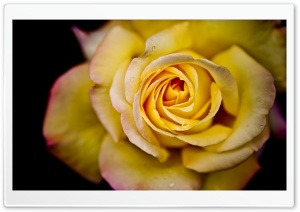 Yellow Rose Macro HD Wide Wallpaper for 4K UHD Widescreen desktop & smartphone