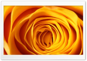 Yellow Rose Makro HD Wide Wallpaper for Widescreen