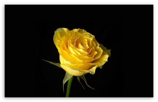 Yellow Rose On Black Background HD wallpaper for Wide 16:10 5:3 Widescreen WHXGA WQXGA WUXGA WXGA WGA ; HD 16:9 High Definition WQHD QWXGA 1080p 900p 720p QHD nHD ; Standard 4:3 5:4 3:2 Fullscreen UXGA XGA SVGA QSXGA SXGA DVGA HVGA HQVGA devices ( Apple PowerBook G4 iPhone 4 3G 3GS iPod Touch ) ; Tablet 1:1 ; iPad 1/2/Mini ; Mobile 4:3 5:3 3:2 16:9 5:4 - UXGA XGA SVGA WGA DVGA HVGA HQVGA devices ( Apple PowerBook G4 iPhone 4 3G 3GS iPod Touch ) WQHD QWXGA 1080p 900p 720p QHD nHD QSXGA SXGA ;