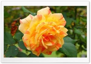 Yellow Rose Petals Macro Ultra HD Wallpaper for 4K UHD Widescreen desktop, tablet & smartphone