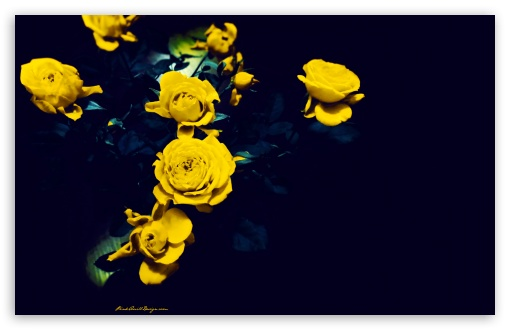 Yellow Roses ❤ 4K UHD Wallpaper for Wide 16:10 5:3 Widescreen WHXGA WQXGA WUXGA WXGA WGA ; 4K UHD 16:9 Ultra High Definition 2160p 1440p 1080p 900p 720p ; Standard 4:3 5:4 3:2 Fullscreen UXGA XGA SVGA QSXGA SXGA DVGA HVGA HQVGA ( Apple PowerBook G4 iPhone 4 3G 3GS iPod Touch ) ; Tablet 1:1 ; iPad 1/2/Mini ; Mobile 4:3 5:3 3:2 16:9 5:4 - UXGA XGA SVGA WGA DVGA HVGA HQVGA ( Apple PowerBook G4 iPhone 4 3G 3GS iPod Touch ) 2160p 1440p 1080p 900p 720p QSXGA SXGA ;