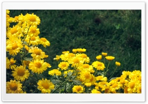 Yellow Sewanty HD Wide Wallpaper for Widescreen