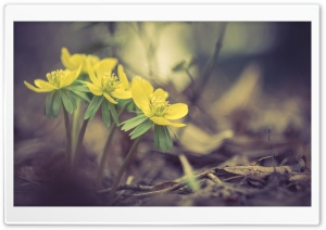 Yellow Spring Flowers Macro HD Wide Wallpaper for Widescreen