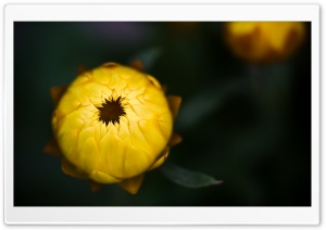 Yellow Strawflower HD Wide Wallpaper for Widescreen