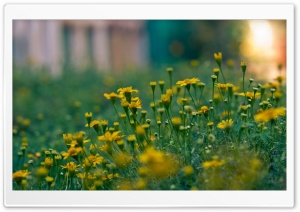 Yellow Summer Flowers HD Wide Wallpaper for Widescreen