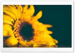Yellow Sunflower HD Wide Wallpaper for Widescreen