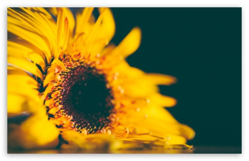 Yellow Sunflower HD wallpaper for Wide 16:10 5:3 Widescreen WHXGA WQXGA WUXGA WXGA WGA ; HD 16:9 High Definition WQHD QWXGA 1080p 900p 720p QHD nHD ; UHD 16:9 WQHD QWXGA 1080p 900p 720p QHD nHD ; Standard 4:3 5:4 3:2 Fullscreen UXGA XGA SVGA QSXGA SXGA DVGA HVGA HQVGA devices ( Apple PowerBook G4 iPhone 4 3G 3GS iPod Touch ) ; Smartphone 5:3 WGA ; Tablet 1:1 ; iPad 1/2/Mini ; Mobile 4:3 5:3 3:2 16:9 5:4 - UXGA XGA SVGA WGA DVGA HVGA HQVGA devices ( Apple PowerBook G4 iPhone 4 3G 3GS iPod Touch ) WQHD QWXGA 1080p 900p 720p QHD nHD QSXGA SXGA ; Dual 16:10 5:3 16:9 4:3 5:4 WHXGA WQXGA WUXGA WXGA WGA WQHD QWXGA 1080p 900p 720p QHD nHD UXGA XGA SVGA QSXGA SXGA ;