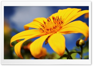 Yellow Tree Marigold HD Wide Wallpaper for Widescreen