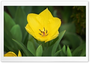 Yellow Tulip HD Wide Wallpaper for Widescreen