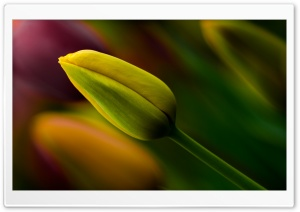 Yellow Tulip Bud HD Wide Wallpaper for Widescreen