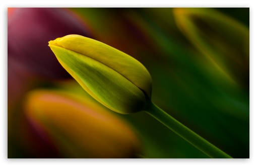 Yellow Tulip Bud ❤ 4K UHD Wallpaper for Wide 16:10 5:3 Widescreen WHXGA WQXGA WUXGA WXGA WGA ; 4K UHD 16:9 Ultra High Definition 2160p 1440p 1080p 900p 720p ; Standard 4:3 5:4 3:2 Fullscreen UXGA XGA SVGA QSXGA SXGA DVGA HVGA HQVGA ( Apple PowerBook G4 iPhone 4 3G 3GS iPod Touch ) ; Tablet 1:1 ; iPad 1/2/Mini ; Mobile 4:3 5:3 3:2 16:9 5:4 - UXGA XGA SVGA WGA DVGA HVGA HQVGA ( Apple PowerBook G4 iPhone 4 3G 3GS iPod Touch ) 2160p 1440p 1080p 900p 720p QSXGA SXGA ; Dual 5:4 QSXGA SXGA ;