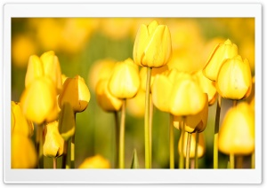 Yellow Tulips HD Wide Wallpaper for 4K UHD Widescreen desktop & smartphone
