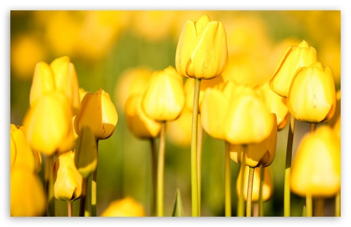 Yellow Tulips ❤ 4K UHD Wallpaper for Wide 16:10 5:3 Widescreen WHXGA WQXGA WUXGA WXGA WGA ; 4K UHD 16:9 Ultra High Definition 2160p 1440p 1080p 900p 720p ; Standard 4:3 5:4 3:2 Fullscreen UXGA XGA SVGA QSXGA SXGA DVGA HVGA HQVGA ( Apple PowerBook G4 iPhone 4 3G 3GS iPod Touch ) ; Tablet 1:1 ; iPad 1/2/Mini ; Mobile 4:3 5:3 3:2 16:9 5:4 - UXGA XGA SVGA WGA DVGA HVGA HQVGA ( Apple PowerBook G4 iPhone 4 3G 3GS iPod Touch ) 2160p 1440p 1080p 900p 720p QSXGA SXGA ;