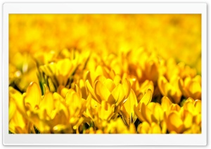 Yellow Tulips HD Wide Wallpaper for Widescreen