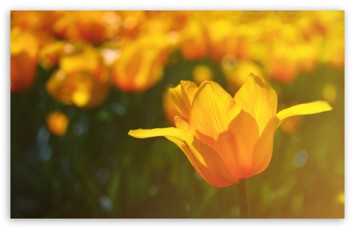 Yellow Tulips HD wallpaper for Wide 16:10 5:3 Widescreen WHXGA WQXGA WUXGA WXGA WGA ; HD 16:9 High Definition WQHD QWXGA 1080p 900p 720p QHD nHD ; Standard 4:3 5:4 3:2 Fullscreen UXGA XGA SVGA QSXGA SXGA DVGA HVGA HQVGA devices ( Apple PowerBook G4 iPhone 4 3G 3GS iPod Touch ) ; Tablet 1:1 ; iPad 1/2/Mini ; Mobile 4:3 5:3 3:2 16:9 5:4 - UXGA XGA SVGA WGA DVGA HVGA HQVGA devices ( Apple PowerBook G4 iPhone 4 3G 3GS iPod Touch ) WQHD QWXGA 1080p 900p 720p QHD nHD QSXGA SXGA ;