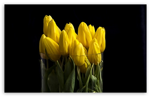 Yellow Tulips in Vase ❤ 4K UHD Wallpaper for Wide 16:10 5:3 Widescreen WHXGA WQXGA WUXGA WXGA WGA ; UltraWide 21:9 24:10 ; 4K UHD 16:9 Ultra High Definition 2160p 1440p 1080p 900p 720p ; UHD 16:9 2160p 1440p 1080p 900p 720p ; Standard 4:3 5:4 3:2 Fullscreen UXGA XGA SVGA QSXGA SXGA DVGA HVGA HQVGA ( Apple PowerBook G4 iPhone 4 3G 3GS iPod Touch ) ; Smartphone 16:9 3:2 5:3 2160p 1440p 1080p 900p 720p DVGA HVGA HQVGA ( Apple PowerBook G4 iPhone 4 3G 3GS iPod Touch ) WGA ; Tablet 1:1 ; iPad 1/2/Mini ; Mobile 4:3 5:3 3:2 16:9 5:4 - UXGA XGA SVGA WGA DVGA HVGA HQVGA ( Apple PowerBook G4 iPhone 4 3G 3GS iPod Touch ) 2160p 1440p 1080p 900p 720p QSXGA SXGA ;