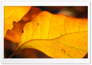 Yellow Walnut Leaves HD Wide Wallpaper for Widescreen