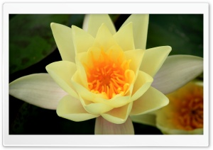 Yellow Water Liliy HD Wide Wallpaper for Widescreen