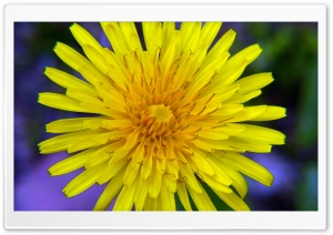 Yellow Wildflower HD Wide Wallpaper for Widescreen