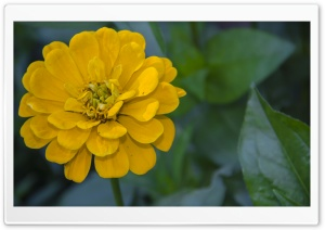 Yellow Zinnia elegans HD Wide Wallpaper for 4K UHD Widescreen desktop & smartphone