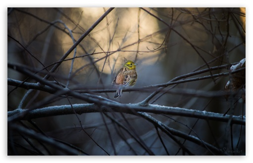 Yellowhammer HD wallpaper for Wide 16:10 5:3 Widescreen WHXGA WQXGA WUXGA WXGA WGA ; HD 16:9 High Definition WQHD QWXGA 1080p 900p 720p QHD nHD ; UHD 16:9 WQHD QWXGA 1080p 900p 720p QHD nHD ; Standard 4:3 3:2 Fullscreen UXGA XGA SVGA DVGA HVGA HQVGA devices ( Apple PowerBook G4 iPhone 4 3G 3GS iPod Touch ) ; Tablet 1:1 ; iPad 1/2/Mini ; Mobile 4:3 5:3 3:2 16:9 - UXGA XGA SVGA WGA DVGA HVGA HQVGA devices ( Apple PowerBook G4 iPhone 4 3G 3GS iPod Touch ) WQHD QWXGA 1080p 900p 720p QHD nHD ;