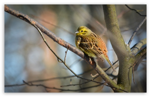 Yellowhammer ❤ 4K UHD Wallpaper for Wide 16:10 5:3 Widescreen WHXGA WQXGA WUXGA WXGA WGA ; 4K UHD 16:9 Ultra High Definition 2160p 1440p 1080p 900p 720p ; Standard 4:3 5:4 3:2 Fullscreen UXGA XGA SVGA QSXGA SXGA DVGA HVGA HQVGA ( Apple PowerBook G4 iPhone 4 3G 3GS iPod Touch ) ; Tablet 1:1 ; iPad 1/2/Mini ; Mobile 4:3 5:3 3:2 16:9 5:4 - UXGA XGA SVGA WGA DVGA HVGA HQVGA ( Apple PowerBook G4 iPhone 4 3G 3GS iPod Touch ) 2160p 1440p 1080p 900p 720p QSXGA SXGA ; Dual 4:3 5:4 UXGA XGA SVGA QSXGA SXGA ;