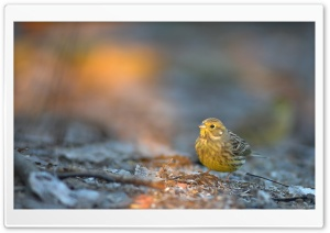 Yellowhammer HD Wide Wallpaper for Widescreen
