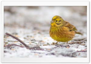 Yellowhammer In A First Snow HD Wide Wallpaper for Widescreen