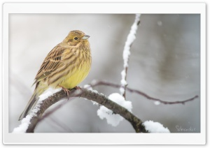 Yellowhammer In A Snowfall HD Wide Wallpaper for 4K UHD Widescreen desktop & smartphone