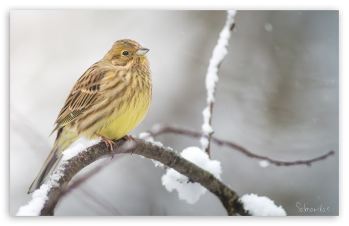 Yellowhammer In A Snowfall HD wallpaper for Wide 16:10 5:3 Widescreen WHXGA WQXGA WUXGA WXGA WGA ; HD 16:9 High Definition WQHD QWXGA 1080p 900p 720p QHD nHD ; UHD 16:9 WQHD QWXGA 1080p 900p 720p QHD nHD ; Standard 3:2 Fullscreen DVGA HVGA HQVGA devices ( Apple PowerBook G4 iPhone 4 3G 3GS iPod Touch ) ; Tablet 1:1 ; iPad 1/2/Mini ; Mobile 4:3 5:3 3:2 16:9 - UXGA XGA SVGA WGA DVGA HVGA HQVGA devices ( Apple PowerBook G4 iPhone 4 3G 3GS iPod Touch ) WQHD QWXGA 1080p 900p 720p QHD nHD ;