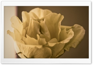 Yesterday&#039;s Rose HD Wide Wallpaper for Widescreen