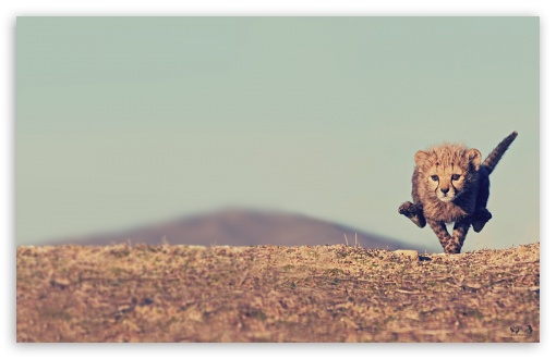 Young Cheetah HD wallpaper for Wide 16:10 5:3 Widescreen WHXGA WQXGA WUXGA WXGA WGA ; HD 16:9 High Definition WQHD QWXGA 1080p 900p 720p QHD nHD ; Standard 4:3 5:4 3:2 Fullscreen UXGA XGA SVGA QSXGA SXGA DVGA HVGA HQVGA devices ( Apple PowerBook G4 iPhone 4 3G 3GS iPod Touch ) ; Tablet 1:1 ; iPad 1/2/Mini ; Mobile 4:3 5:3 3:2 16:9 5:4 - UXGA XGA SVGA WGA DVGA HVGA HQVGA devices ( Apple PowerBook G4 iPhone 4 3G 3GS iPod Touch ) WQHD QWXGA 1080p 900p 720p QHD nHD QSXGA SXGA ;