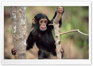 Young Chimpanzee Climbing Gombe National Park Tanzania HD Wide Wallpaper for Widescreen