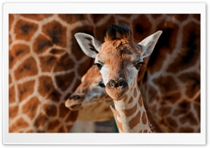 Young Giraffe HD Wide Wallpaper for Widescreen