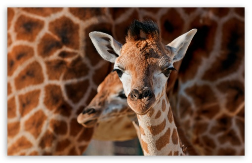 Young Giraffe HD wallpaper for Standard 4:3 5:4 Fullscreen UXGA XGA SVGA QSXGA SXGA ; Wide 16:10 5:3 Widescreen WHXGA WQXGA WUXGA WXGA WGA ; HD 16:9 High Definition WQHD QWXGA 1080p 900p 720p QHD nHD ; Other 3:2 DVGA HVGA HQVGA devices ( Apple PowerBook G4 iPhone 4 3G 3GS iPod Touch ) ; Mobile VGA WVGA iPhone iPad PSP Phone - VGA QVGA Smartphone ( PocketPC GPS iPod Zune BlackBerry HTC Samsung LG Nokia Eten Asus ) WVGA WQVGA Smartphone ( HTC Samsung Sony Ericsson LG Vertu MIO ) HVGA Smartphone ( Apple iPhone iPod BlackBerry HTC Samsung Nokia ) Sony PSP Zune HD Zen ; Tablet 2 Android 3 DVGA HVGA HQVGA devices ( Apple PowerBook G4 iPhone 4 3G 3GS iPod Touch ) ; Dual 4:3 5:4 16:10 5:3 16:9 UXGA XGA SVGA QSXGA SXGA WHXGA WQXGA WUXGA WXGA WGA WQHD QWXGA 1080p 900p 720p QHD nHD ;