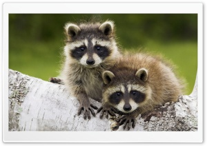Young Raccoons Minnesota Ultra HD Wallpaper for 4K UHD Widescreen desktop, tablet & smartphone