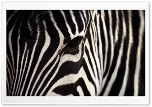 Zebra HD Wide Wallpaper for 4K UHD Widescreen desktop & smartphone